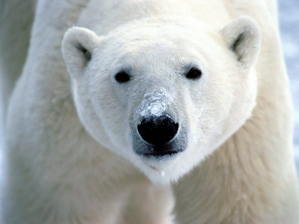 Polar Bears And The Extreme Temperatures