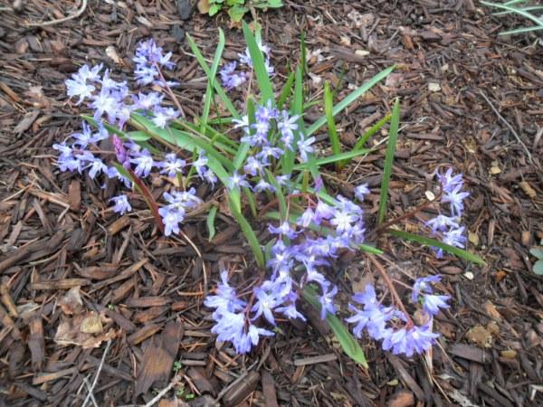 blue chionodoxa1