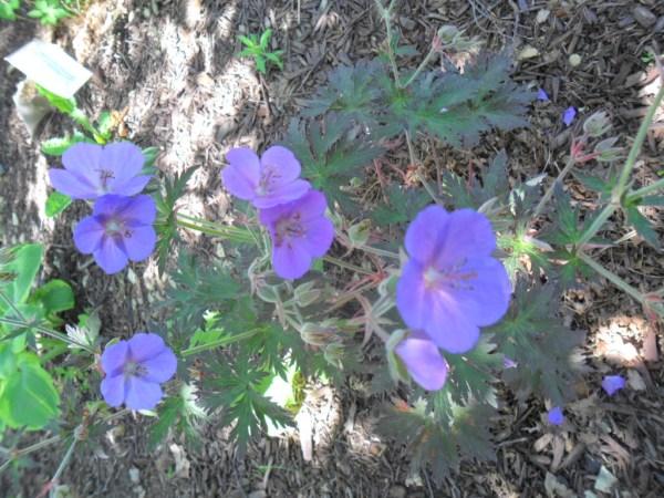 blue geranium5
