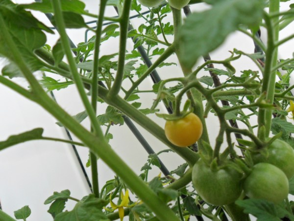 cherry tomato1