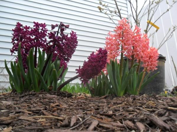 hyacinth mix7