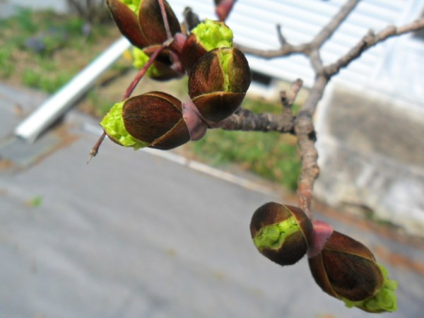 maple bloom1