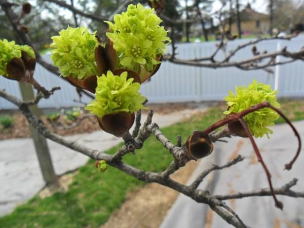 maple bloom2