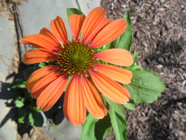 orange echinacea1