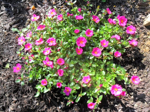 portulaca creeper2