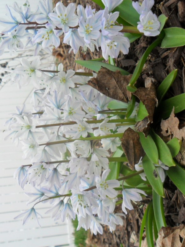 striped squill9