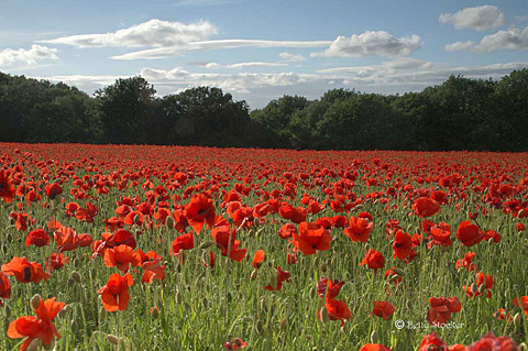 poppies_bs_640