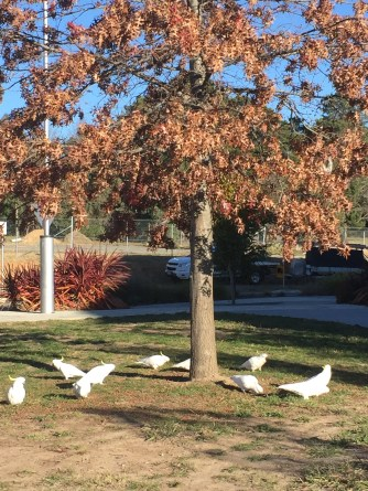 flock of cockatoos on the walk to Woden plaza