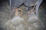 Elefante Raju 05