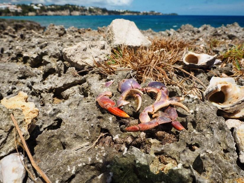 purple crab claws
