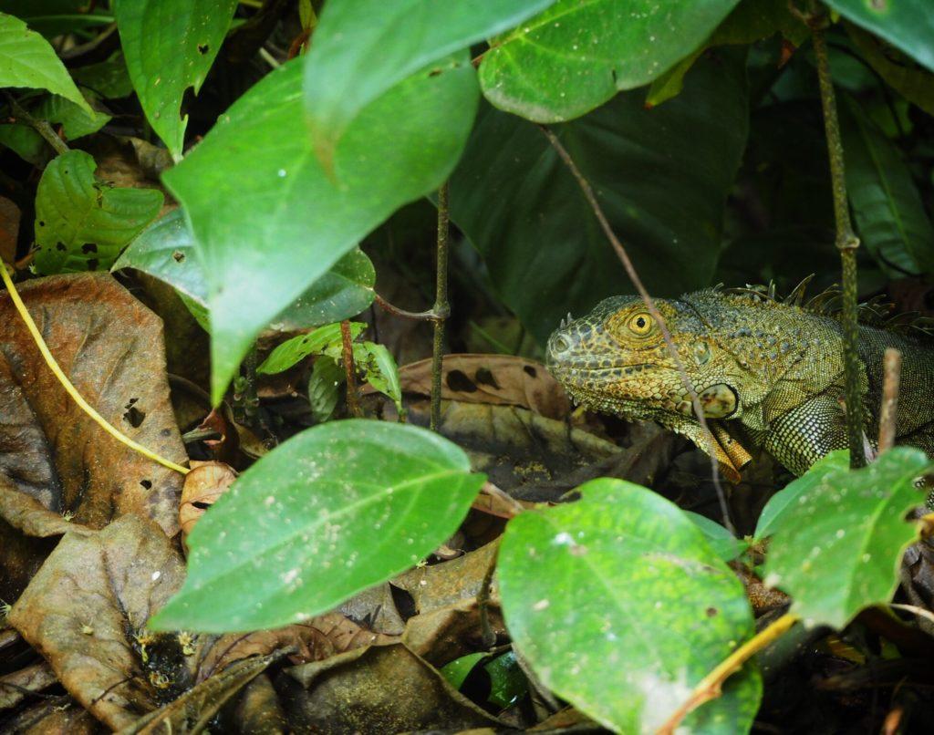 Costa Rican iguana hiding