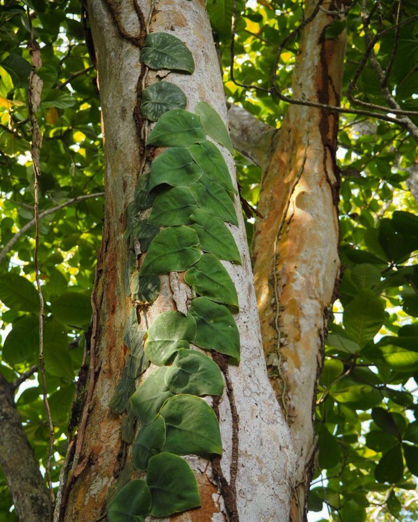 leaves on a tree trunk near Puerto Limón