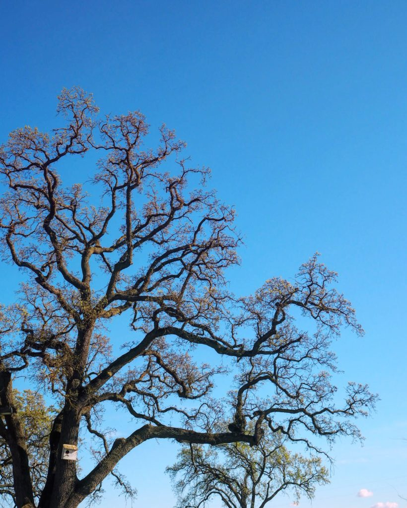 live oak tree at the Oak Farm Estate in Lodi California