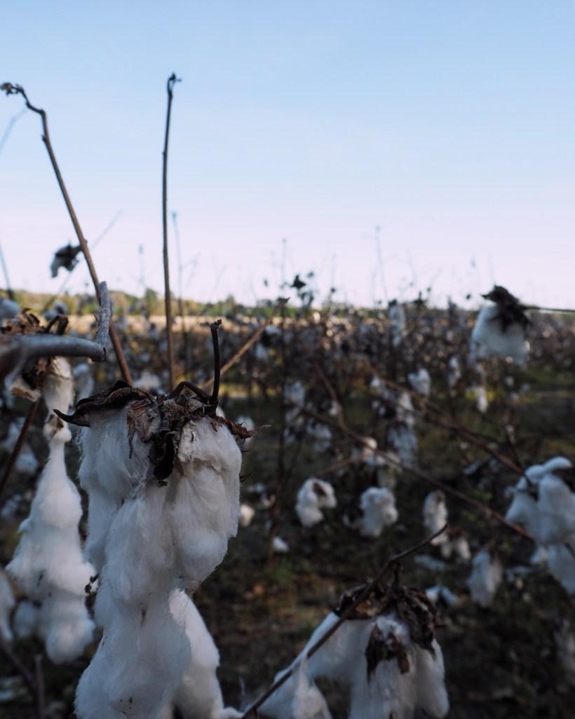 a cotton field in North Carolina