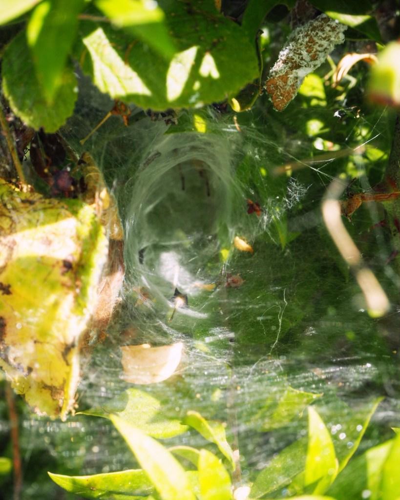 funnel spider web