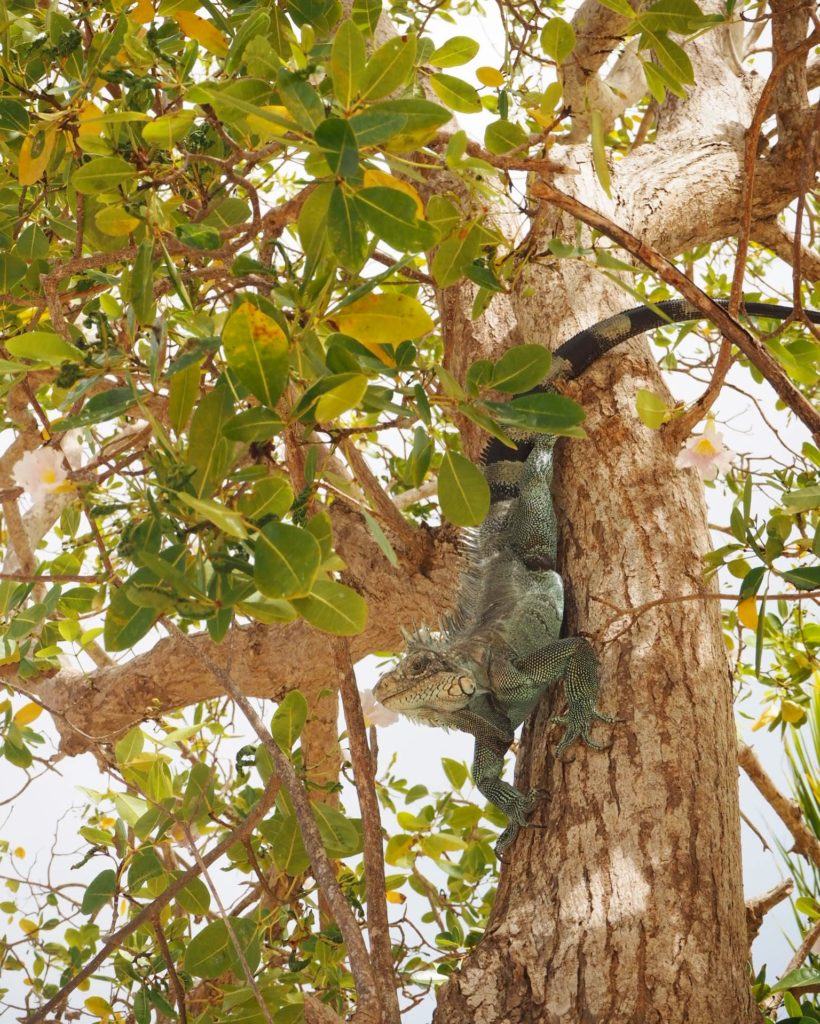 blue iguana climbing a tree