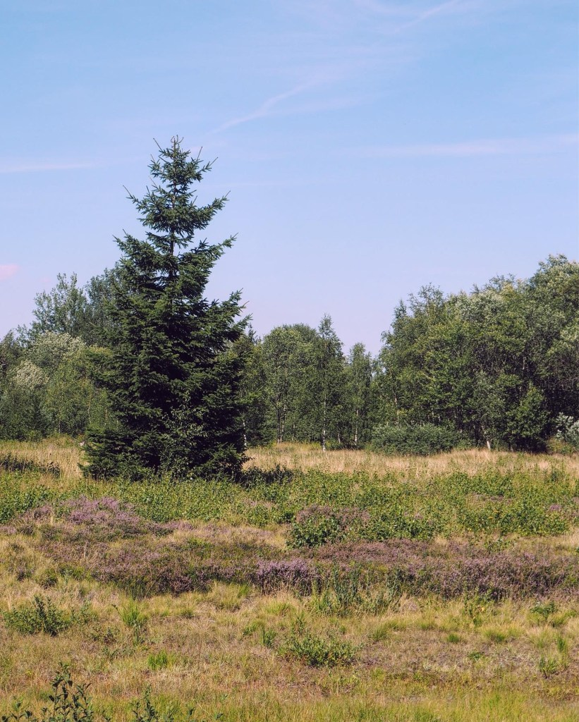 a solitary pine tree in the Ore Mountains
