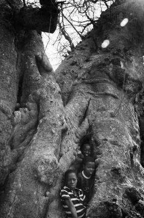 Boys get inside a baobab tree.