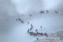 Red Deer herd {Cervus elaphus} moving over mountain ridge in heavy snow. Cairngorms National Park, Scotland. January. Highly Commended in the HABITAT category of the 2015 British Wildlife Photography Awards.