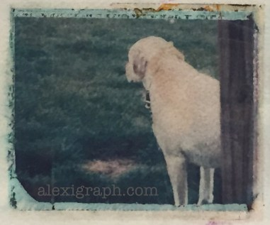 Polaroid transfer photo of a dog looking away from the camera, appearing sad