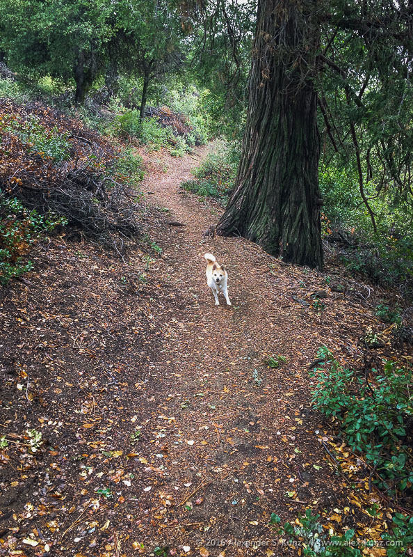 Toni läuft im Im Wald am Palomar Mountain an einem regnerischen Oktobertag.