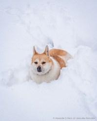 Hund Toni im tiefen Schnee