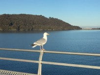 One of many seagulls