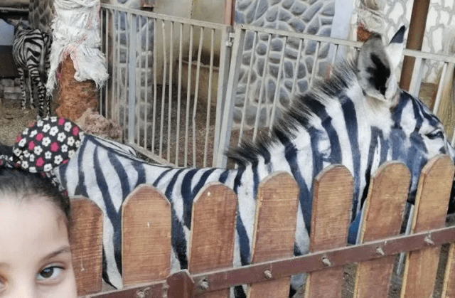 Zoo paints black stripes onto donkeys to deceive tourists into thinking they are zebras...lol (photos)