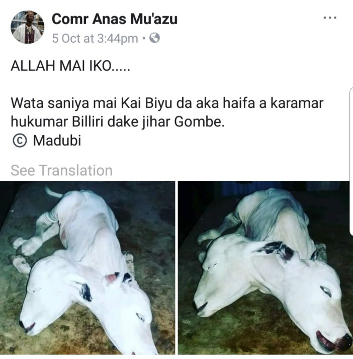 Two headed cow reportedly spotted in Gombe state (photo)