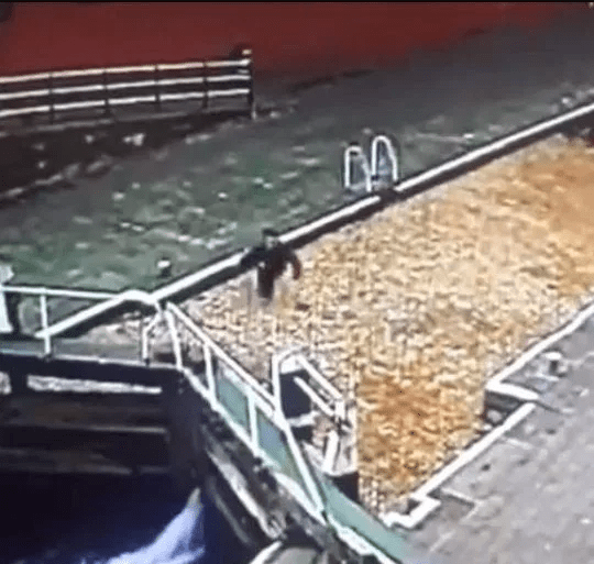 Man unknowingly falls into a canal while walking and operating his phone (video)
