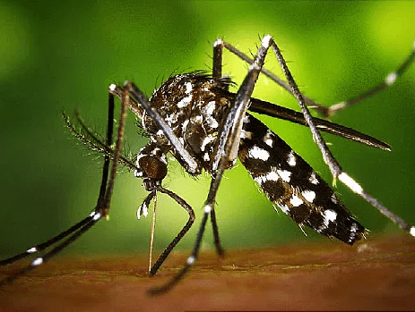 World Health Organisation?announces plan to sterilise male mosquitoes