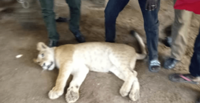 Lion cub found in residential apartment in Lagos, tranquilized and evacuated (photos)