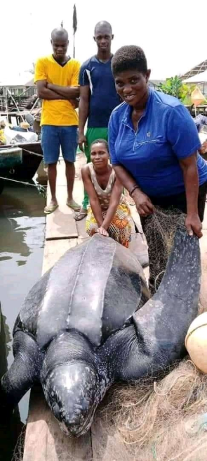 Massive leatherback sea turtle caught in Bayelsa state (photos)