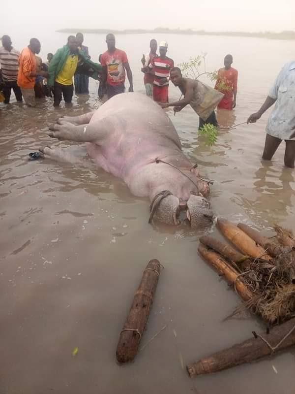 Fishermen trap, kill Hippotamus in Kebbi community (photos)