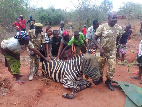 Zebra gives birth to half Zebra half Donkey
