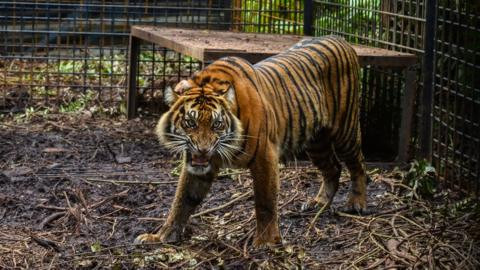 Zookeeper, monkey and ostrich mauled to death after two tigers?escape zoo facility