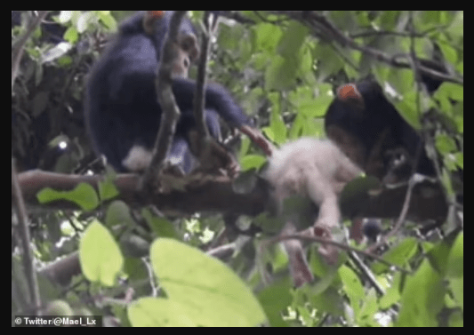 First ever wild albino chimpanzee spotted in Uganda shortly before it was brutally killed (photos)