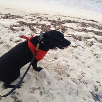 skittles rescue dog jamaica beach black labrador retriever adopt dont shop