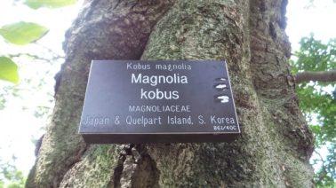 Magnolia Kobus - New York Botanical Garden
