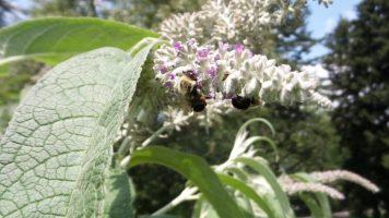 Bees on Flower - New York Botanical Gardens