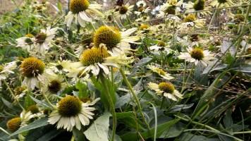 sunflowers flowers nature new york