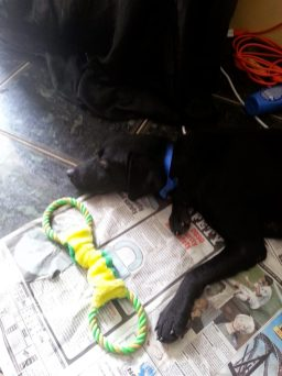 black labrador rescue pup jamaica adopt don't shop