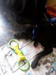 black labrador rescue pup jamaica