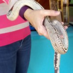 high white california king snake