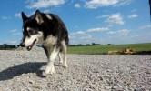 kentucky bourbon distillery dog husky wolf