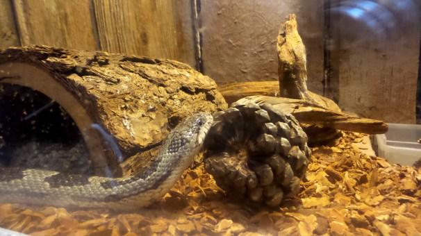 Snake Panola Mountain State Park 2