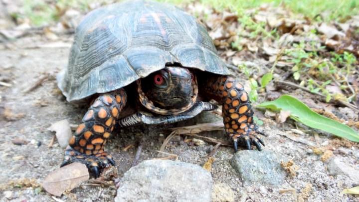 16 Jesters Creek Turtle