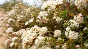 29 Torrey Pines California Bee