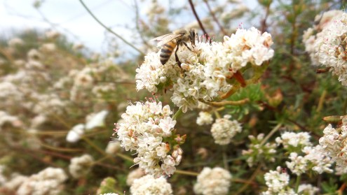 30 Torrey Pines Bee Flowers