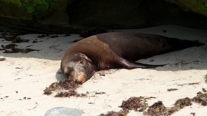1 La Jolla Seal.jpg